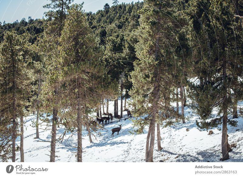 Edle Hirsche in der Nähe von Bäumen zwischen Schnee Baum Winter Wald die Winkel Pyrenäen Frankreich edel wild weidend Schönes Wetter Ausflug Frost Holz Park