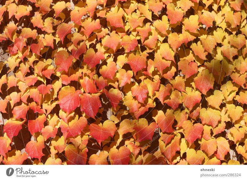 Verwachsen Pflanze rot Blatt gelb Herbst gold Efeu Ranke