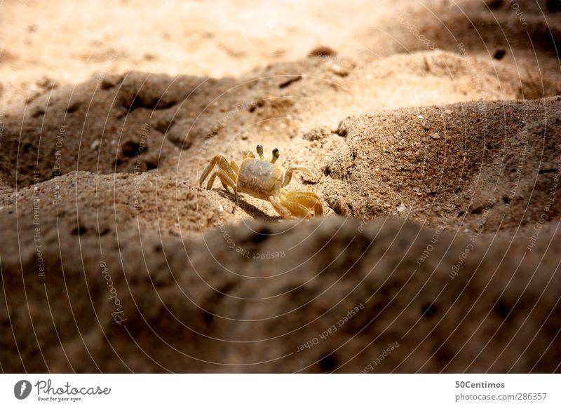 Der Krebs in der Abendsonne Sonne Strand Tier Sand braun Krebstier