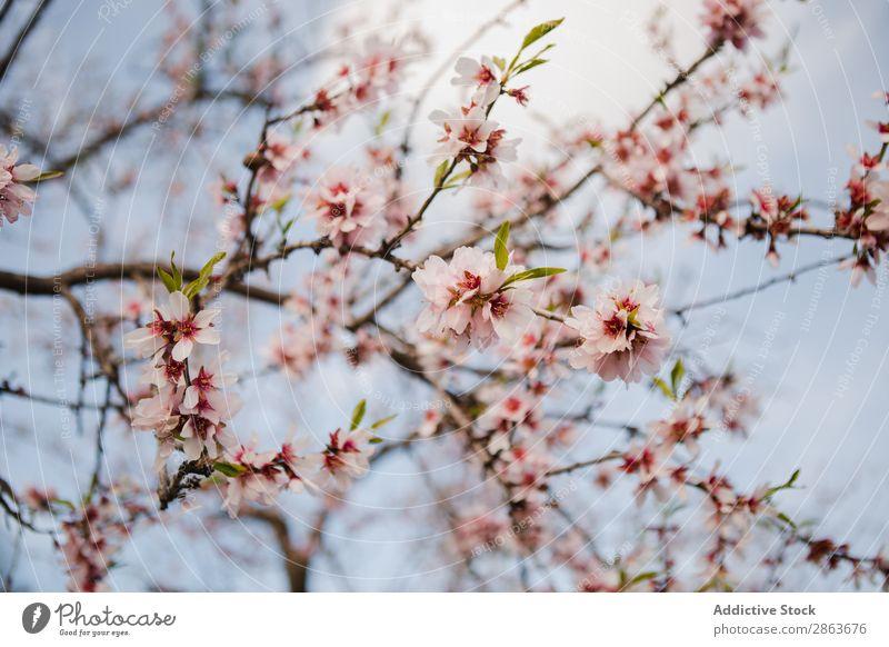 Baumzweig mit Blumen im Garten Ast Zweig Holz Hügel rosa Park Blüte aromatisch Frucht Natur grün Pflanze Gartenarbeit Botanik Landwirtschaft Blatt Wachstum