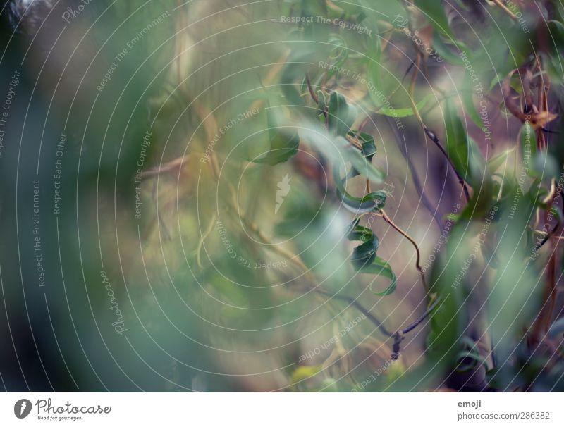 Kringel Umwelt Natur Pflanze Baum Sträucher Blatt Grünpflanze Garten Park natürlich grün Spirale Farbfoto Außenaufnahme Nahaufnahme Detailaufnahme Makroaufnahme