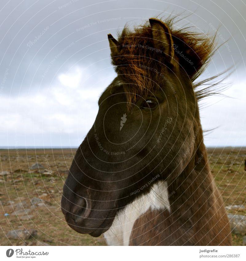Island Umwelt Natur Landschaft Himmel Wolken Tier Wildtier Pferd Island Ponys 1 Freundlichkeit nah Neugier wild braun Farbfoto Gedeckte Farben Außenaufnahme