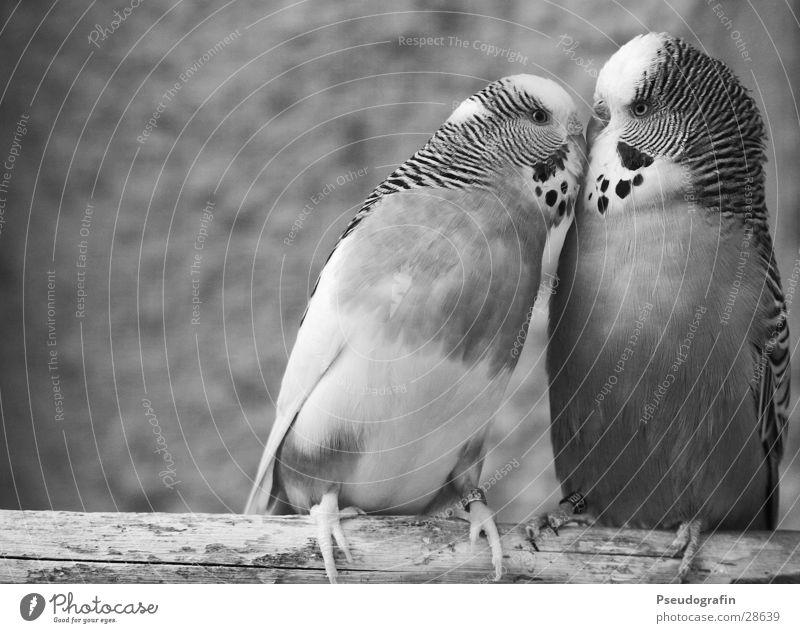 *knutsch* Valentinstag Tier Haustier Vogel 2 Tierpaar Küssen Liebe niedlich Glück Fröhlichkeit Zufriedenheit Frühlingsgefühle Sympathie Freundschaft
