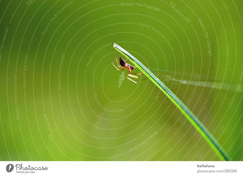 Qual | Ich spinne mit. ;-) Natur Pflanze Tier Sonnenlicht Wetter Schönes Wetter Gras Garten Park Wiese Feld Wildtier Spinne 1 krabbeln sitzen grün schwarz