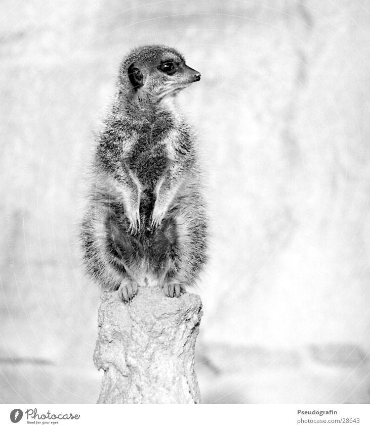 Erdmann guckt links. Zoo Wildtier Pfote 1 Tier beobachten Blick sitzen dick kuschlig niedlich Erdmännchen Schwarzweißfoto Außenaufnahme Menschenleer