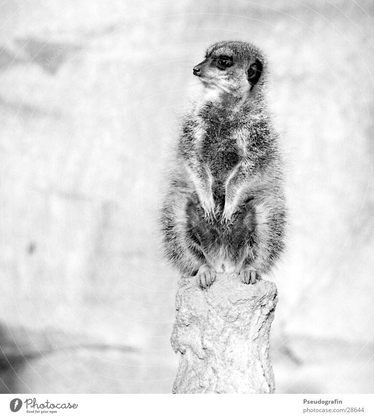 Erdmann guckt rechts. Zoo Wildtier Pfote 1 Tier Blick sitzen dick kuschlig Erdmännchen Schwarzweißfoto Außenaufnahme Menschenleer Textfreiraum links