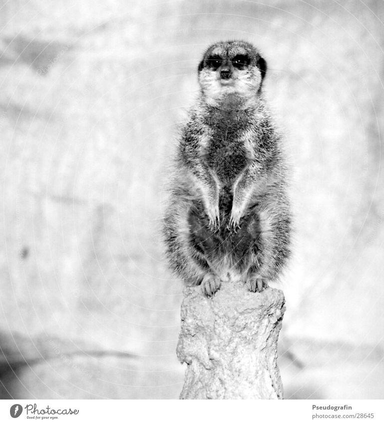Erdmann guckt geradeaus Zoo Wildtier 1 Tier Blick sitzen dick kuschlig Erdmännchen Schwarzweißfoto Außenaufnahme Menschenleer Textfreiraum links