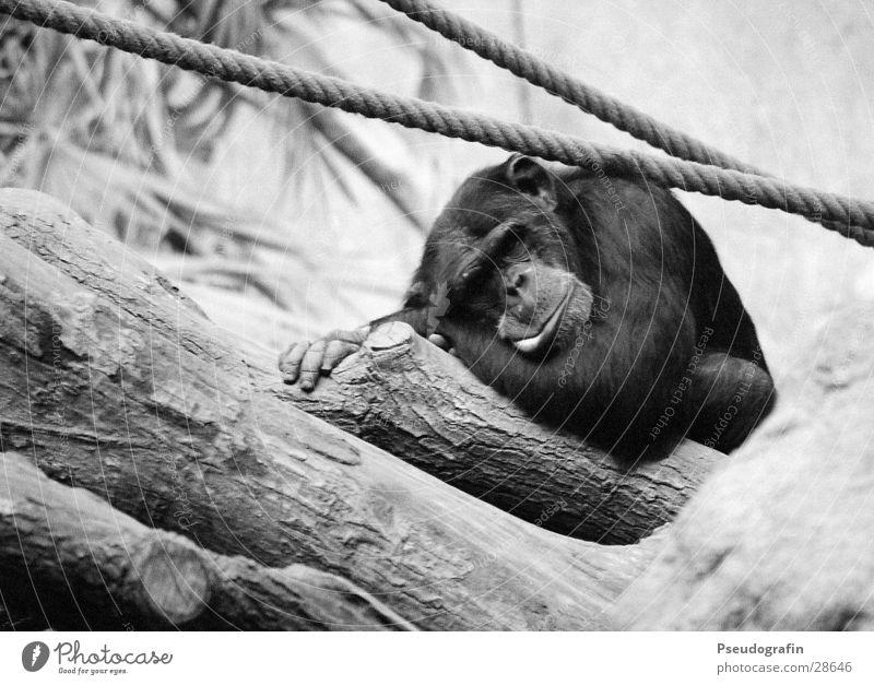 Schimpanse (schläft) Seil Zoo Wildtier Fell 1 Tier liegen schlafen lustig Schimpansen Affen Schwarzweißfoto Außenaufnahme Menschenleer Tag Tierporträt