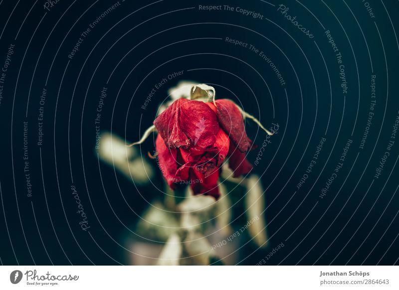getrocknete Rose Dürre alt Liebe ästhetisch kaputt Trennung Vergänglichkeit Wasserknappheit Vor dunklem Hintergrund Textfreiraum vertrocknet Traurigkeit Trauer