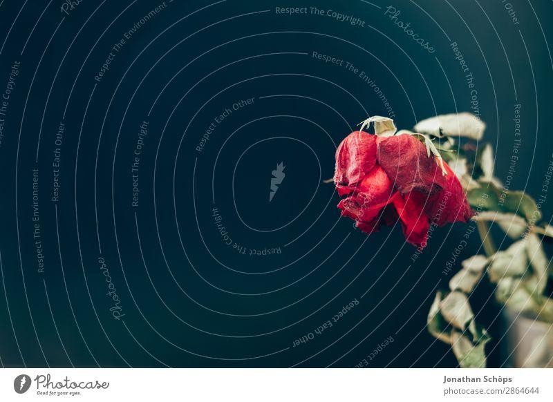 getrocknete Rose Dürre alt Liebe kaputt Trennung Vergänglichkeit Wasserknappheit Vor dunklem Hintergrund Textfreiraum vertrocknet verdorrt Abschied Trauer