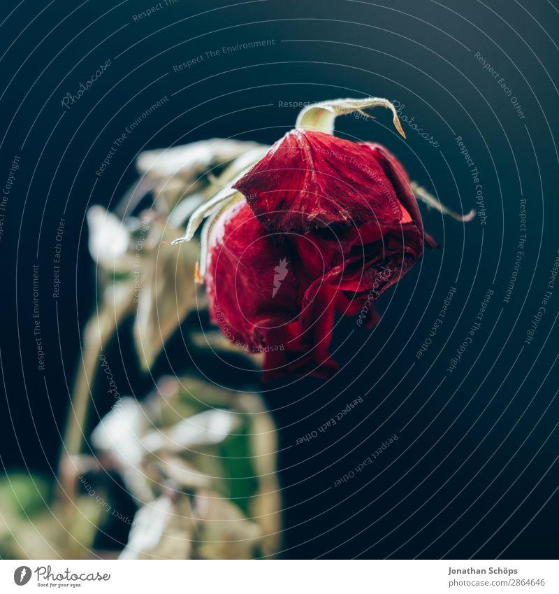 getrocknete Rose Dürre alt Liebe kaputt Trennung Vergänglichkeit Wasserknappheit Vor dunklem Hintergrund Textfreiraum vertrocknet Trauer Liebeskummer Abschied