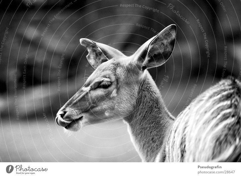 *mjam* Zoo Tier Wildtier Tiergesicht 1 Essen lutschen Reh Zunge Schwarzweißfoto Außenaufnahme Detailaufnahme Tag Schwache Tiefenschärfe Tierporträt Blick