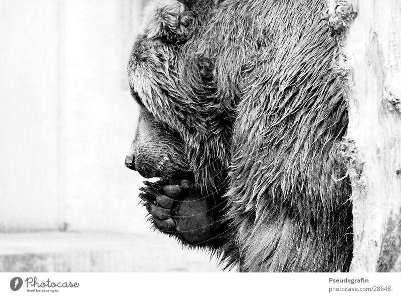 * Zoo Fell Wildtier Krallen Pfote 1 Tier festhalten Blick Bär Schwarzweißfoto Außenaufnahme Detailaufnahme Menschenleer Textfreiraum links Silhouette Profil