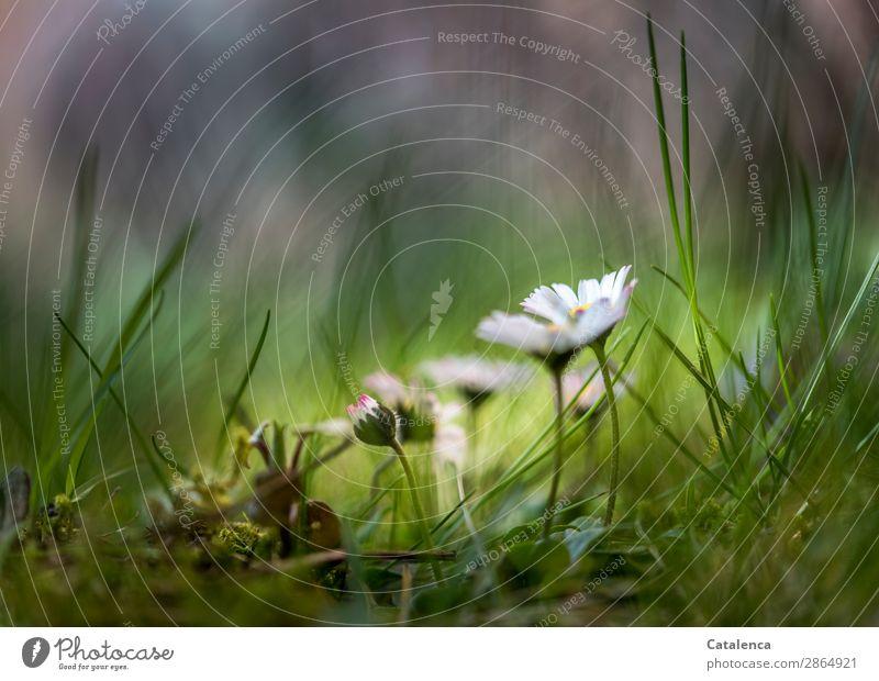 Gänseblümchen Natur Pflanze schön grün weiß Blume Blatt gelb Blüte Frühling Wiese Gras klein Garten rosa Stimmung