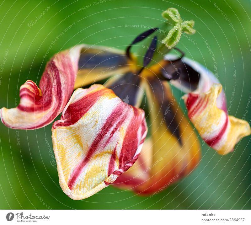 verwelkte mehrfarbige Tulpe Sommer Garten Natur Pflanze Blume Blatt Blüte Blühend frisch hell natürlich oben gelb grün rot Farbe Hintergrund Beautyfotografie