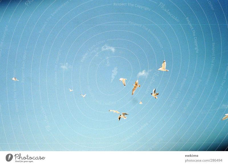 Könige der Nordseeluft Himmel blau Ferien & Urlaub & Reisen weiß Sonne Wolken ruhig Umwelt Freiheit Sand Vogel fliegen gold Wildtier hoch frei
