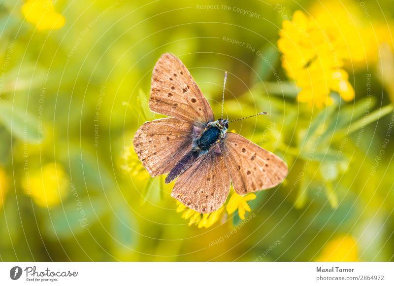 Brauner Schmetterling schön Sommer Natur Blume Wiese natürlich wild braun schwarz ökologisch Licht Jahreszeiten Flecken Frühling Flügel Nahaufnahme