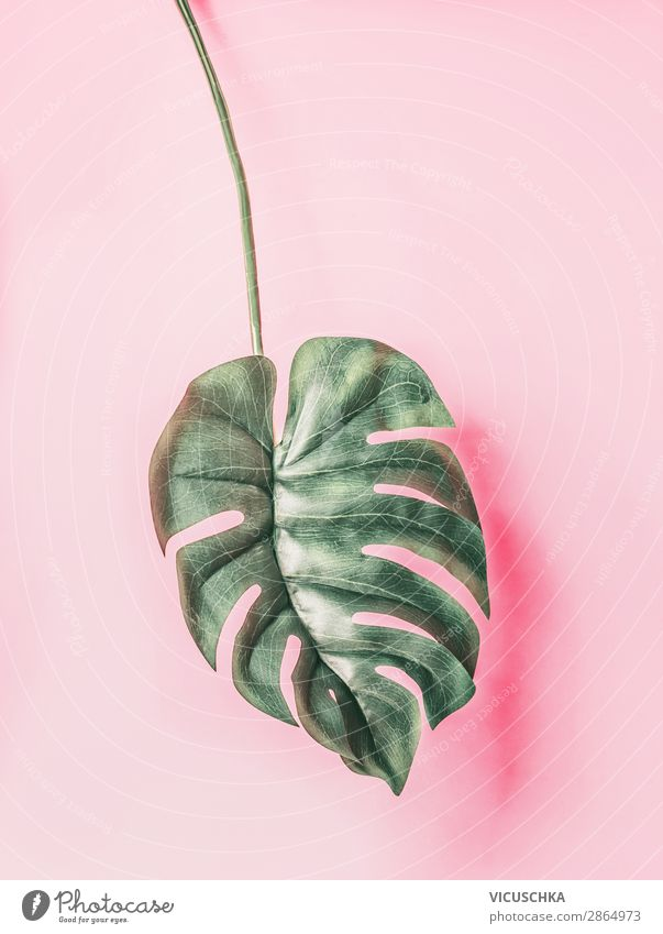 Tropisches Monstera Blatt auf rosa Hintergrund Natur Sommer Pflanze Hintergrundbild Stil Design Dekoration & Verzierung Symbole & Metaphern trendy tropisch
