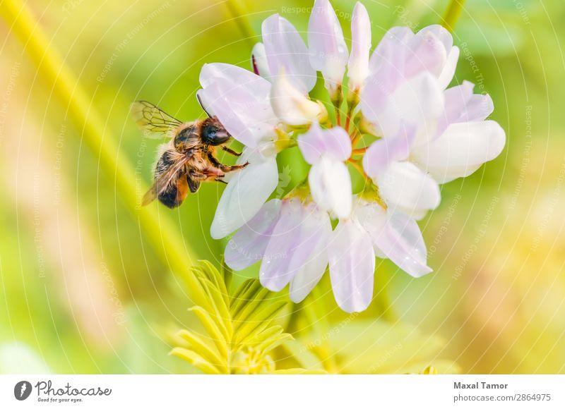Biene und Klee Sommer Natur Tier Blume klein nass wild gelb grün schwarz Hummel Fliege Liebling Insekt Pollen bestäuben Pollenflug Staubfäden Tierwelt