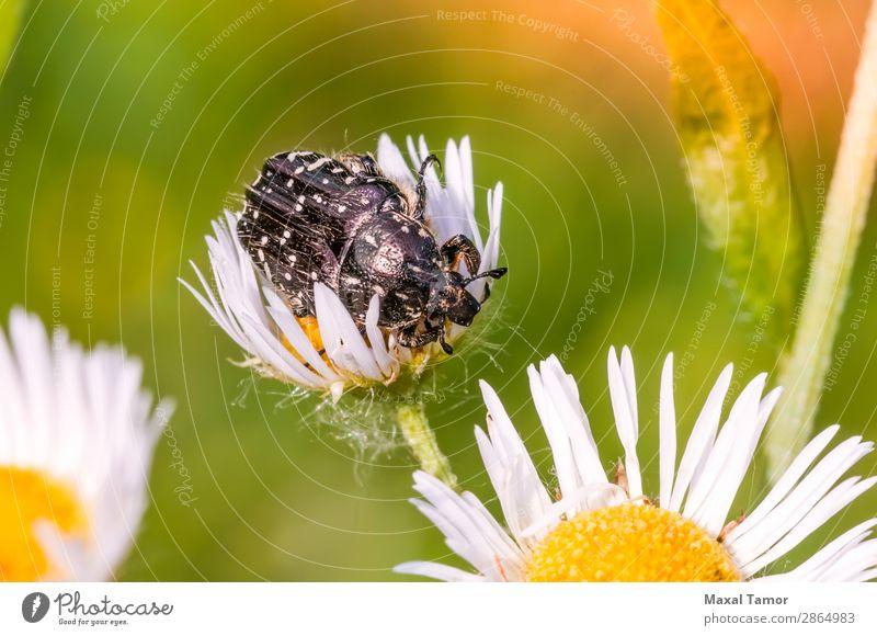 Schwarzweißer Skarabäus Natur Tier Blume Käfer wild schwarz Tiere Arthropode Hintergrund Wanze Coleoptera Gänseblümchen Fauna Insekt Wirbellose orange