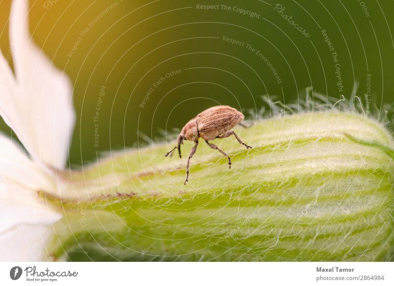 Curculio Natur Pflanze Tier Blatt Antenne Käfer klein braun Arthropode Wanze schließen Coleoptera Cucujiformia Rüsselkäfer Fauna Hemistiktus pflanzenfressend