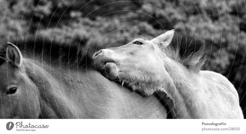 *knabber* Tier Haustier Nutztier Pferd 2 Tierpaar Brunft Erholung festhalten Blick Freundlichkeit Treue Fellpflege Mähne Gebiss Schwarzweißfoto Außenaufnahme