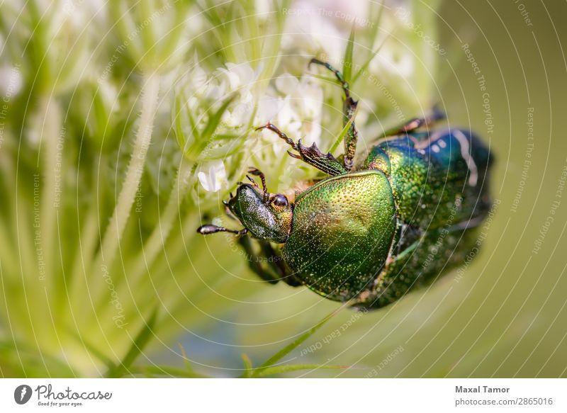 Cetonia Aurata auf einer Daucus Carota Blume schön Natur Tier Käfer Metall glänzend wild grün weiß Wattenmeer Rosenkäfer Kiew Ukraine Bronze Wanze