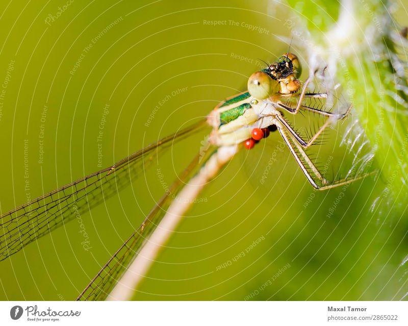 Lestes Barbarus Weiblich Körper Sommer Natur Tier fliegen klein grün Hydracarina Hydrachnellae Hydrachnidien Kiew Ukraine Wasserakari barbarisch Wanze schließen