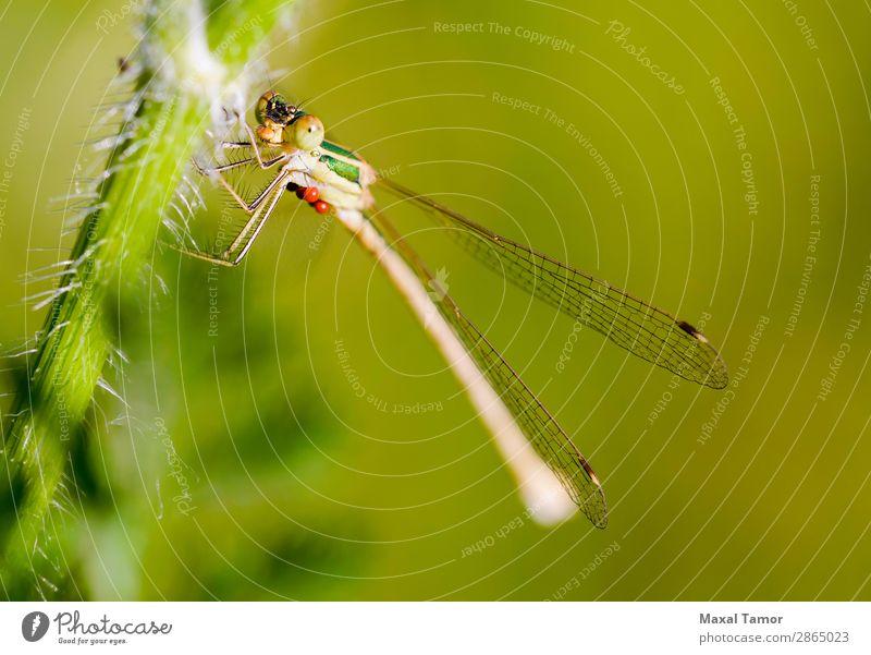 Lestes Barbarus Weiblich Körper Sommer Natur Tier fliegen klein grün Hydracarina Hydrachnellae Hydrachnidien Kiew Ukraine barbarisch Wanze schließen Azurjungfer