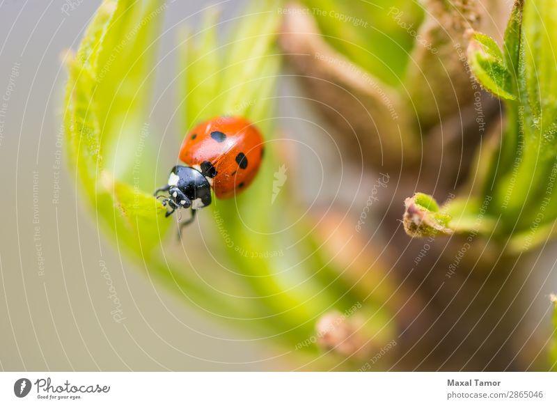 Frühlings-Marienkäfer Sommer Garten Umwelt Natur Pflanze Gras Blatt Wiese Käfer hell klein natürlich grün rot schwarz Farbe Wanze Punkt Entomologie Feld Insekt