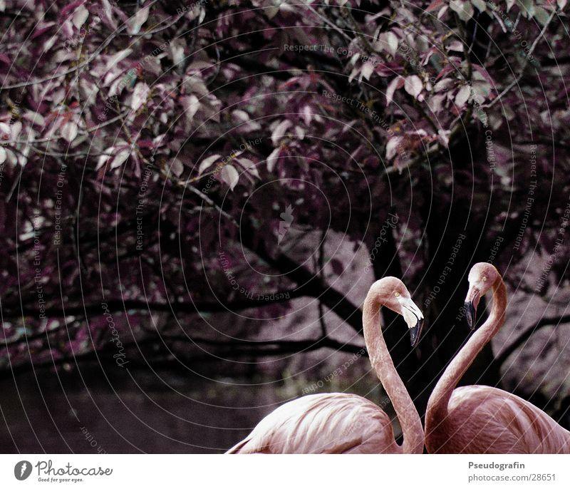Geöffnetes Herz Tier Liebe rosa Wildtier Tierpaar dünn Verliebtheit Zoo Schnabel Valentinstag Flamingo