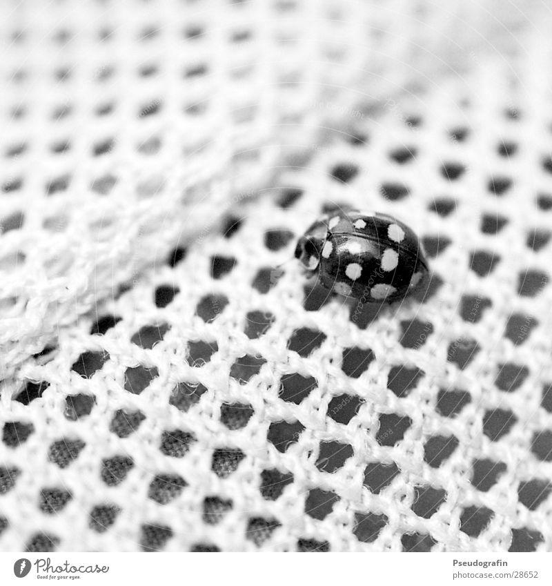 Tarnung!? Wildtier Käfer 1 Tier schwarz ästhetisch Genauigkeit einzigartig Netzwerk Ordnung Ferne Marienkäfer Punkt Schwarzweißfoto Außenaufnahme Muster