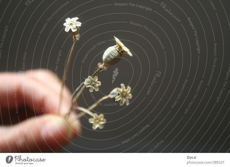 Mohntag Hand Finger Pflanze Blumenstrauß trocken Mohnkapsel Trockenblume klein 5 schenken haltend Stengel getrocknet Farbfoto Gedeckte Farben Innenaufnahme