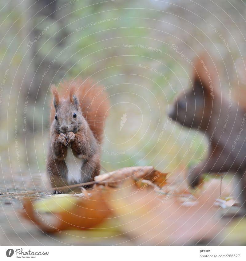 1,5 Hörnchen Natur grün Tier Blatt Umwelt Herbst braun Wildtier Eichhörnchen Nagetiere