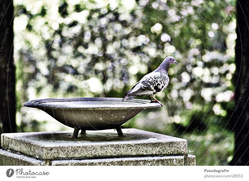 Taube, macht sich bereit zum Abflug Schalen & Schüsseln Baum Blatt Vogel Stein Blick sitzen stehen Farbfoto Gedeckte Farben Außenaufnahme Menschenleer Tag