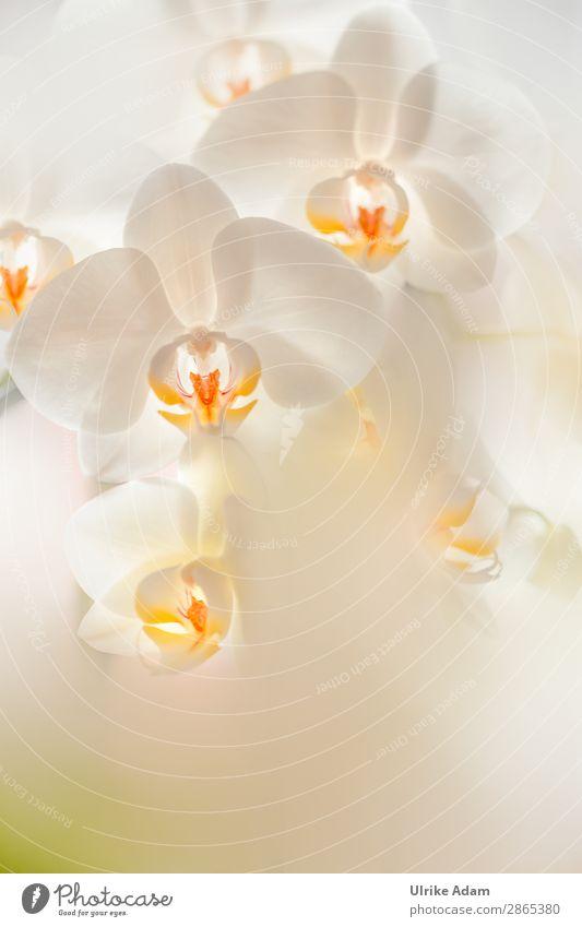 Weiße Orchideen - Blumen elegant Wellness Leben harmonisch Wohlgefühl Zufriedenheit Erholung ruhig Meditation Spa Dekoration & Verzierung Tapete Feste & Feiern