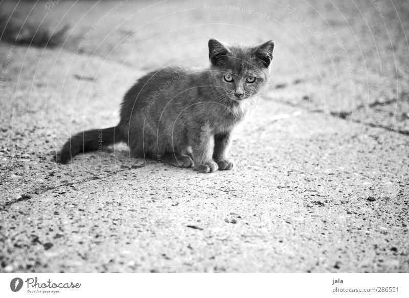 kleine mauz Tier Haustier Katze 1 Tierjunges Neugier niedlich Schwarzweißfoto Außenaufnahme Menschenleer Textfreiraum unten Tag Tierporträt Blick