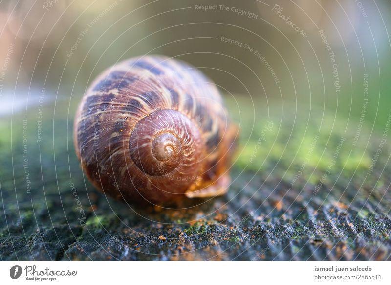 Schnecke auf dem Boden in der Natur Riesenglanzschnecke Tier Wanze braun Insekt klein Panzer Spirale Pflanze Garten Außenaufnahme zerbrechlich niedlich