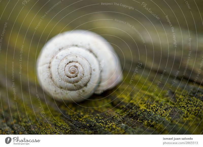 weiße Schnecke in der Natur Riesenglanzschnecke Tier Wanze Insekt klein Panzer Spirale Pflanze Garten Außenaufnahme zerbrechlich niedlich Beautyfotografie