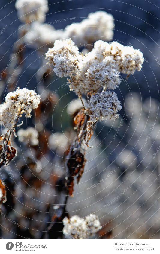 Eisige Vorboten Natur Wasser weiß Pflanze Blume Blatt Winter Wald Wiese kalt Blüte braun natürlich Wetter glänzend