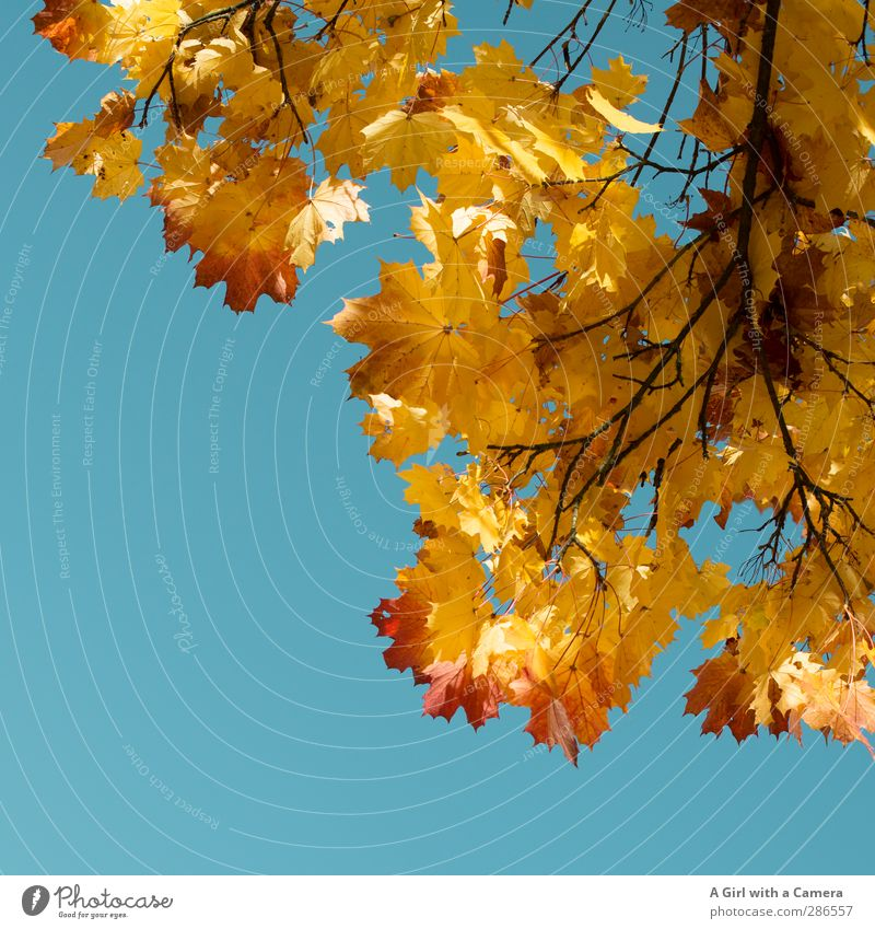 herbst Natur Pflanze Baum Wald Umwelt Herbst Tod Park leuchten Schönes Wetter Wolkenloser Himmel