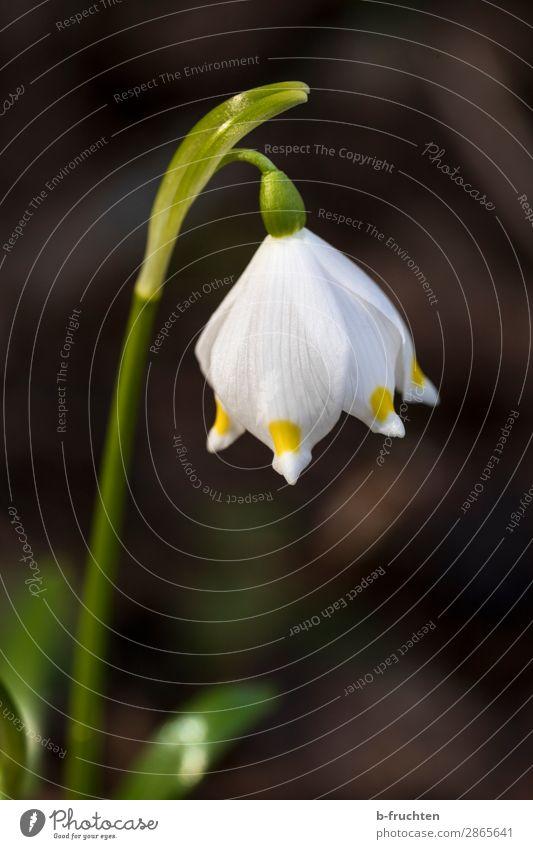 Frühlingsbote Erholung ruhig Natur Pflanze Blume Blüte Garten Park Wald wählen Blühend Fröhlichkeit frisch schön Frühlingsblume Schneeglöckchen Frühlingstag