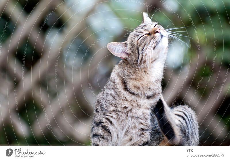 Please, I'm fabulous! Tier Haustier Katze Tiergesicht 1 genießen Bewegung Erholung Kontakt Reinigen eitel schick Körperpflege Schnurrhaar kratzen Hochmut