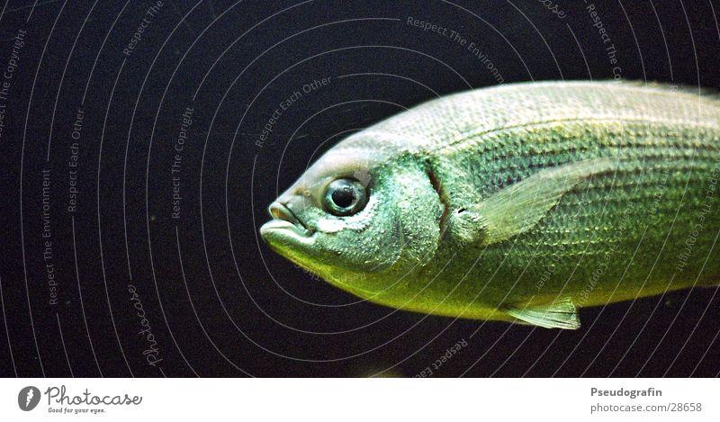 Fisch Schwimmen & Baden Angeln Zoo Wasser Verkehr Tier Wildtier 1 nass schleimig grün Farbfoto Gedeckte Farben Innenaufnahme Unterwasseraufnahme Menschenleer