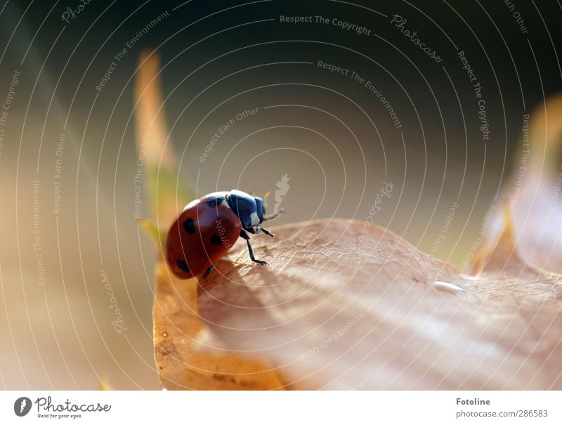 Glück auf 6 Beinen Umwelt Natur Pflanze Tier Herbst Blatt Käfer 1 frei hell klein natürlich braun rot schwarz Insekt krabbeln Herbstlaub Farbfoto mehrfarbig