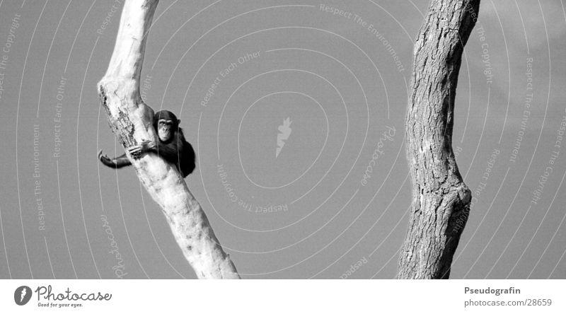 Schimpanse (winkend) Himmel Sommer Baum Tier Bewegung klein Wildtier hoch beobachten festhalten Fell Klettern Baumstamm Zoo hängen Pfote