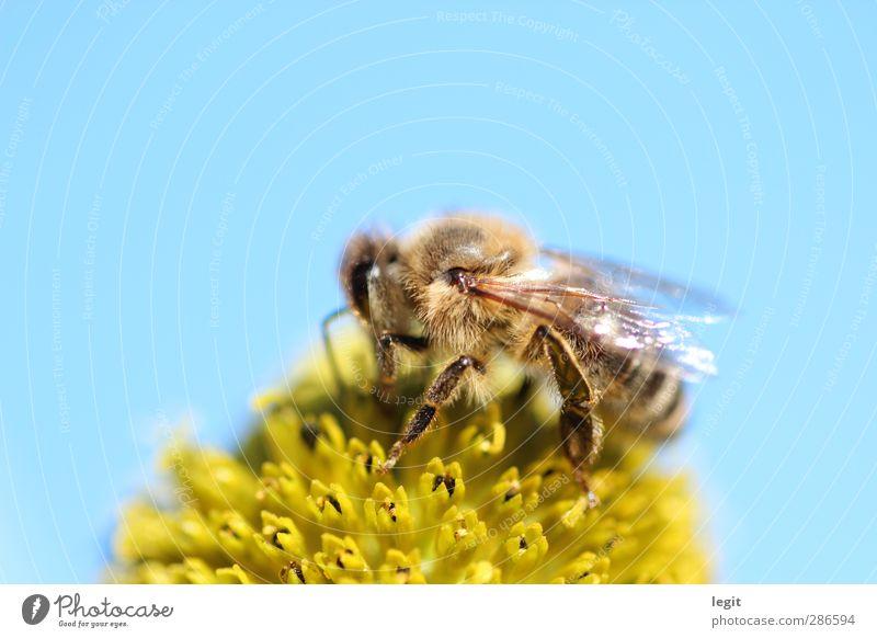 Honigbiene auf Blüte Himmel Natur Pflanze blau Sommer Sonne Tier gelb Herbst natürlich Garten braun hell wild Feld