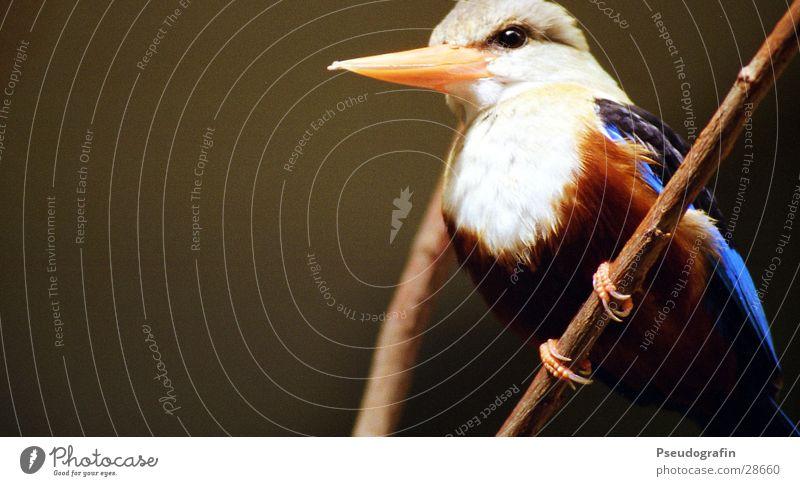 Fogi Zoo Tier Wildtier Vogel Flügel 1 festhalten Freundlichkeit blau Eisvögel Schnabel Feder Zweig Farbfoto mehrfarbig Außenaufnahme Nahaufnahme Menschenleer