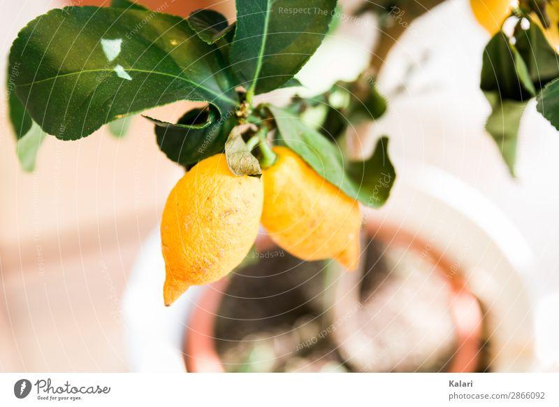 Sauer macht lustig Frucht Sommer Sonne Natur Schönes Wetter Pflanze Baum Blatt Topfpflanze exotisch Holz verblüht frisch sauer gelb grün Klima Umwelt Ernte reif