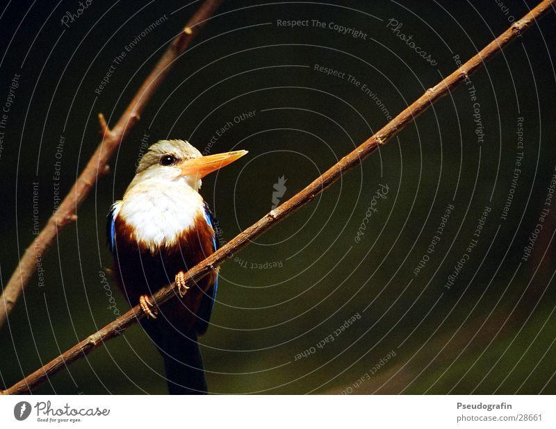 Fogi Zoo Tier Wildtier Vogel Flügel 1 Fröhlichkeit schön blau Eisvögel Schnabel Feder Zweig Farbfoto Gedeckte Farben Außenaufnahme Menschenleer